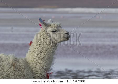 Alpaca At Colorado Lagoon, Salt Lake, Bolivia, South America.