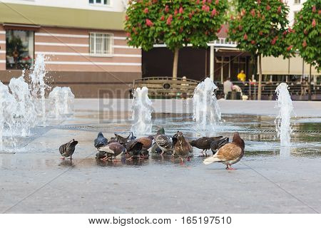 Rock doves (lat. Columba livia) drinking water from a public fountain