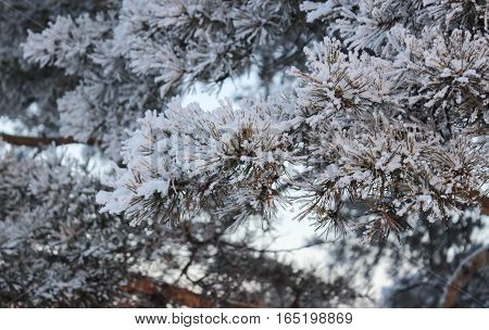 Needles of a pine are covered with white fluffy snow