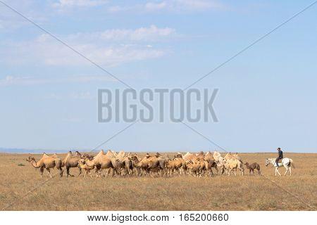 Image Of Camels In Kazakhstan Steppes
