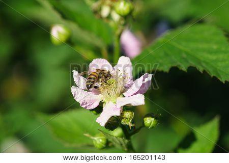 Bee  (лат. Anthophila) on flower BlackBerry (lat. Rubus)