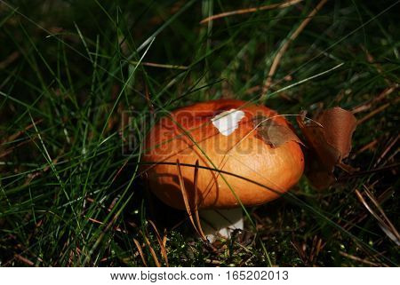 Orange mushroom among the green forest litter
