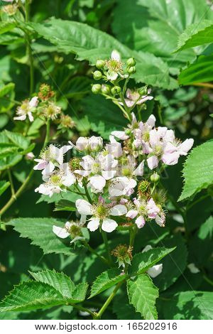 Branch lush flowering BlackBerry (lat. Rubus) in the garden