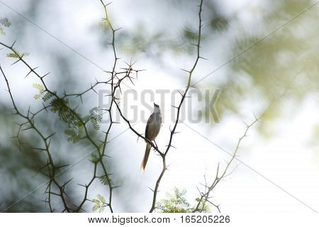 A fair colored long tailed bird on a thorny branch