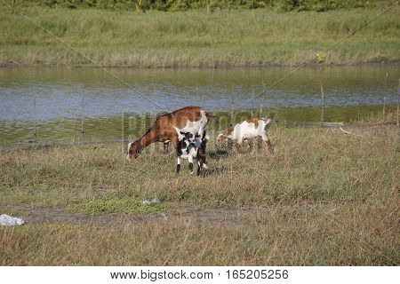 A mother goat and two kids grazing near a swamp