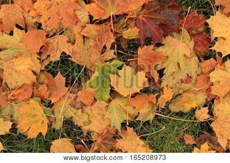Fallen leaves/ Fallen leaves background on autumn.