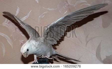 parrot Corelli is ready to fly bird