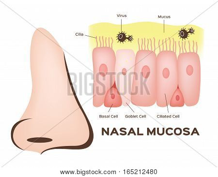 Nasal mucosa cells in nose vector on white background