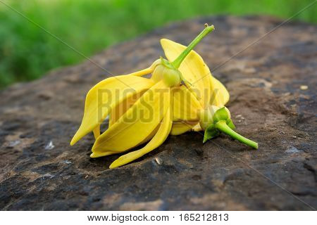 Ylang-ylang Yellow flower on the rock for background