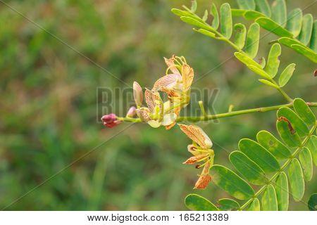 Flower tamarind on tree Flower sweet tamarind on tree in thailand