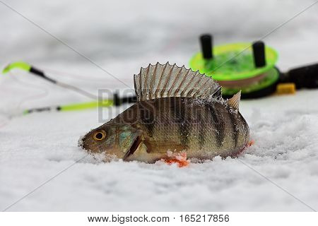 Perch, ice, winter fishing catch rod cold trophy