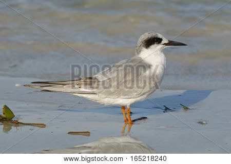 Forster's Tern In Non-breeding Plumage - Florida