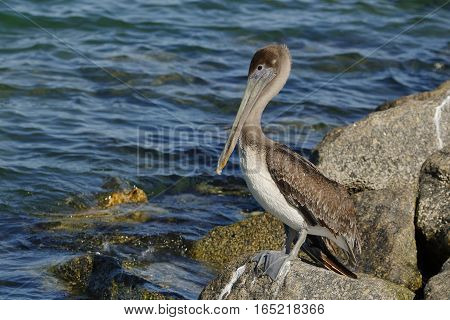 Immature Brown Pelican Perched On A Rock - Florida