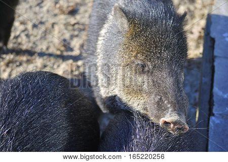 Close up of Collared peccary (Pecari tajacu) in the winter. In Zagreb Zoo, Croatia.