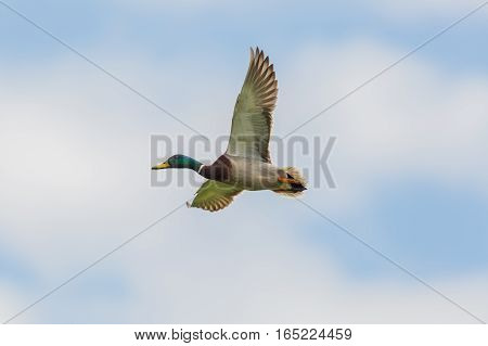 male mallard duck (Anas platyrhynchos) in flight with blue sky