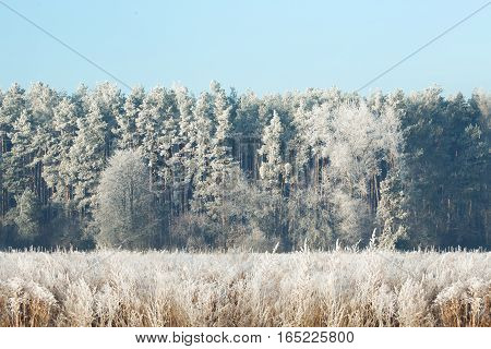 High Resolution Background Of Snowy Forest. Winter Wallaper.