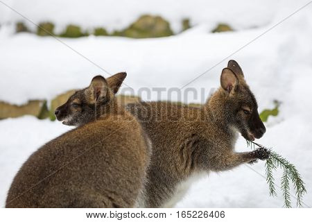 Red-necked Wallaby In Snowy Winter