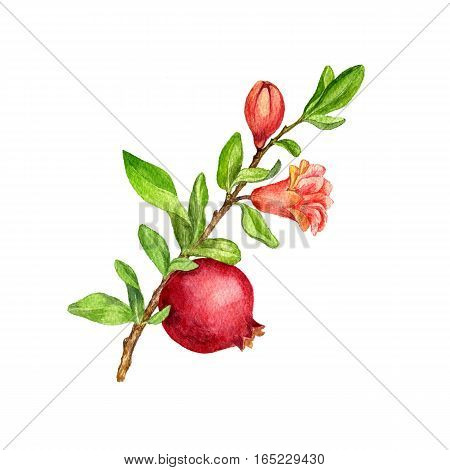 pomegranate tree branch with fruit, leaves, buds and flower drawing by watercolor, isolated hand drawn elements