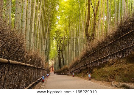 Bamboo groved with walking pass in Arashiyama Kyoto Japan natural landscape background
