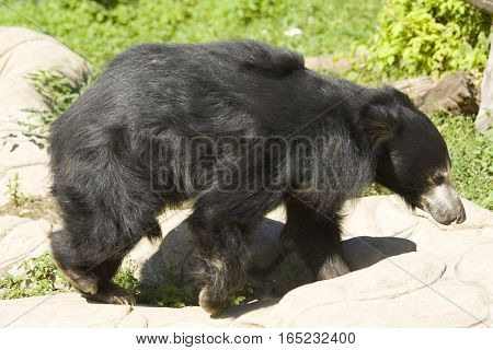 Indian Sloth bear latin name Melurgus ursiuns.