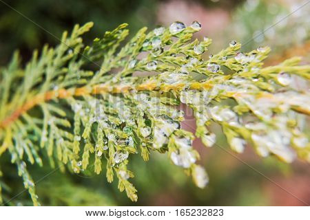 Frost water drops on juniper tree macro closeup