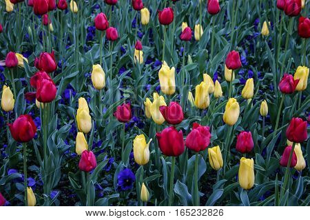 Colorful array of vibrant tulips and pansies. Deep red pale yellow tulips and purple pansies.