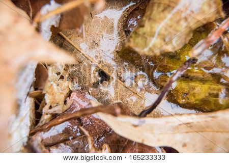 Dry foliage autumn brown leaves covered in shiny ice frost