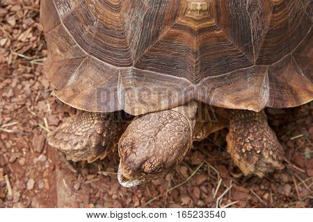 The head and part of the shell African Spurred Tortoise (Geochelone sulcata)