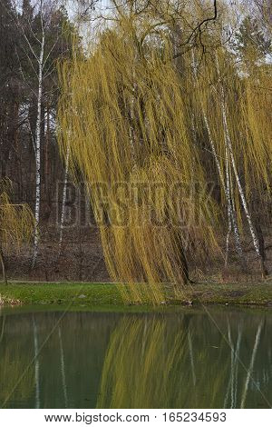 Landscape. Late fall. Weeping willow tree by the lake