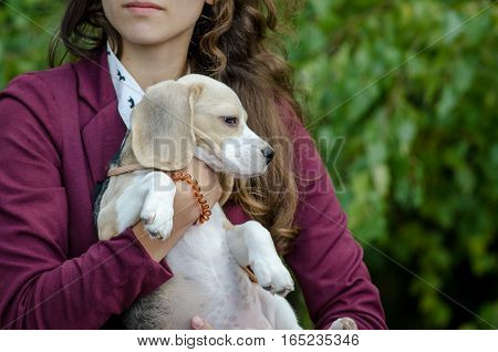 beagle puppy in the hands of the hostess
