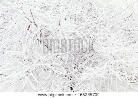 Tree Branches Frozen In The Ice