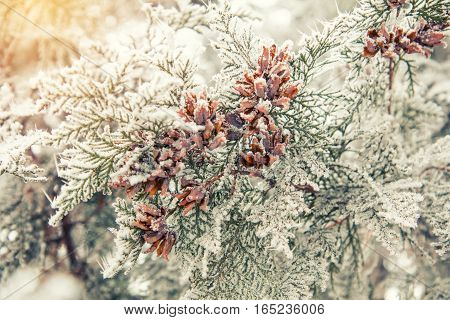 Branch Thuja Cypress Tree With Cones In Snow