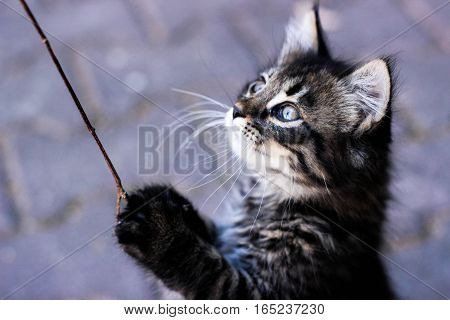 kitten, kitten playing, kitten standing on hind legs, a kitten with blue eyes