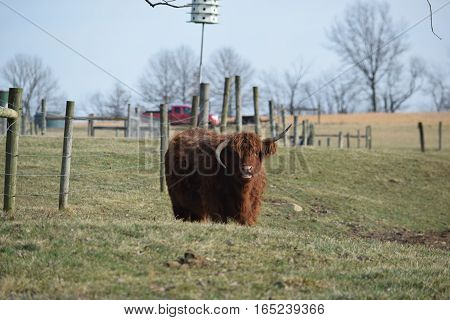 a fuzzy shaggy long haired cow with abnormal horns.