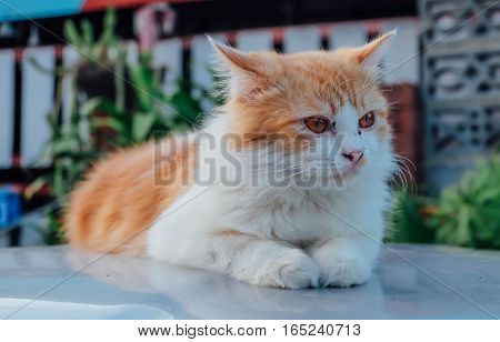 Persian cat, cat before you play the game.