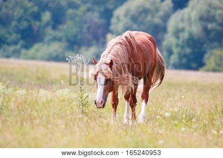 horse with a long mane grazing on a spring meadow
