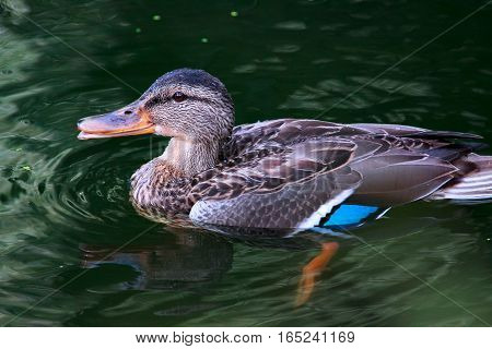 Female mallard duck. Mallard duck on water