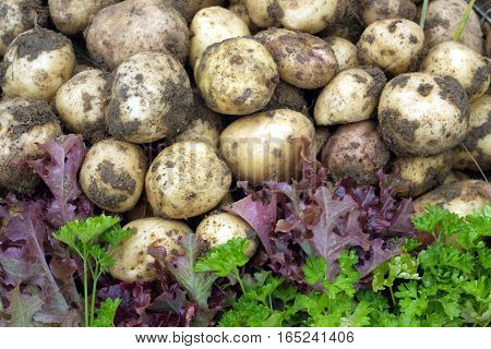 Red salad, green parsley and young potatoes closeup