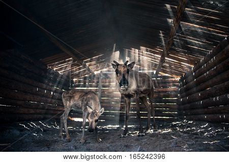 Reindeers mom and its baby in cattle-shed. Shining sun.