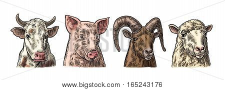 Farm animals icon set. Pig, cow, sheep and goat heads isolated on white background. Vector color vintage engraving illustration for menu, web and label. Hand drawn in a graphic style.