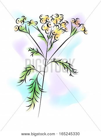the llustration - the watercolor painting - of the tansy flower.