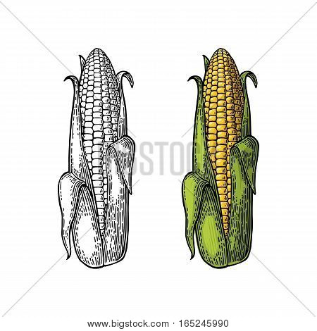 Ripe cob of corn half-open leaves. Vector vintage color and black engraving illustration. Isolated on white background.