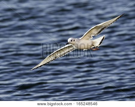Bonaparte's Gull gliding over water in search of a meal