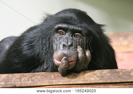 Chimp Common chimpanzee (Pan troglodytes) emotion sad