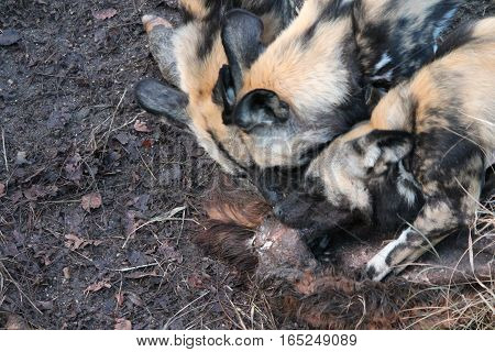 African hunting dog pack eating horse carcas tearing apart