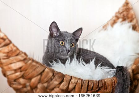Blue Russian cat in the bed-boat on white fur