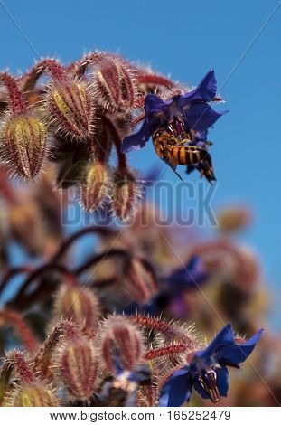 Blue starflower known as Borage officinalis attracts honeybees Apis mellifera in a Southern California garden