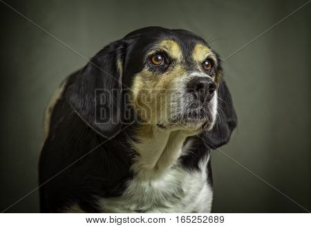 A close up studio dog portrait of a Beagle