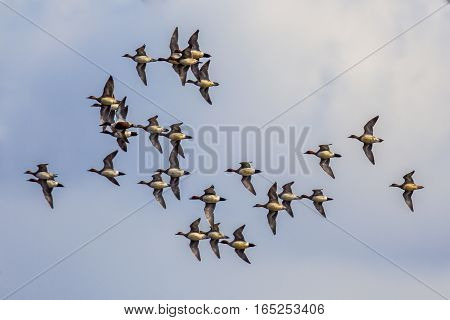 Flock Of Eursasian Wigeon