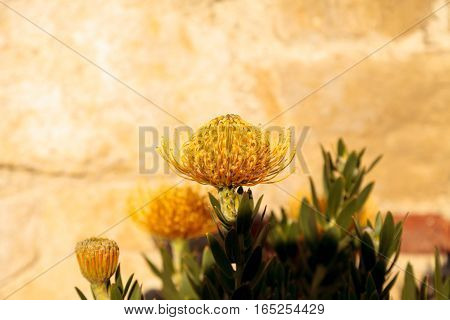 Yellow flowers of a pincushion protea Leucospermum succulent plant in a botanical garden